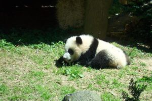 Panda Rest by IcePanthress