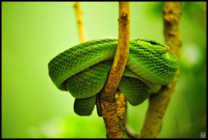 Red-tailed Ratsnake by omegach