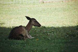 Deer Stock 2 by Jaded-Night-Stock