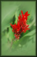 Dreamy Canna by TThealer56