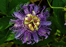 Kinder Farm Passionflower by Matthew-Beziat