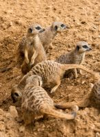 Meerkats by tpphotography