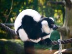 Black and white ruffed lemur stock 3 by CathleenTarawhiti