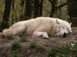 North American Arctic Wolf 06 by animalphotos