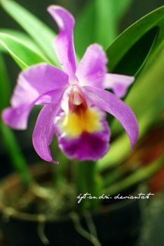 Cattleya orcihd by KFT-Andri