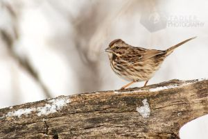 Fox Sparrow by shaguar0508