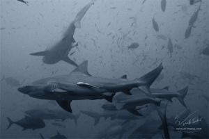 a lot of sharks by Vitaly-Sokol