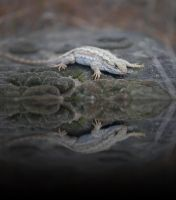 Lizard Reflection by Circusdog