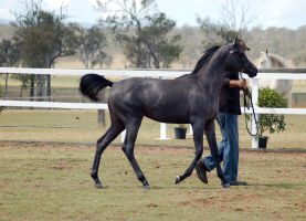 GE Arab filly grey walk side view by Chunga-Stock