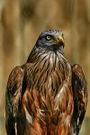 Red kite by MarianGutu