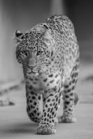 Leopard, KA VI by FGW-Photography