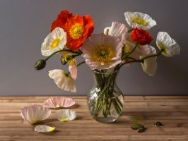 Mohn Stock 02 by NellyGrace3103