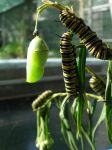 Caterpillars and chrysalis by LetoCrows