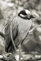 Night Heron Close Up by CandiceSmithPhoto