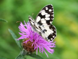 Marbled White Butterfly 2 by Raah-man