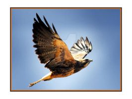 Redtailed Hawk Flying shot 1 by houstonryan