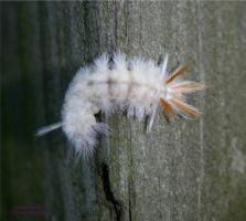 White Wooly Worm 1 by panda69680102