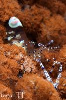 another commensal shrimp by aquanauts74