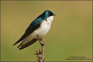Singing Swallow by gregster09