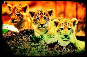 Liger cubs by axiom463