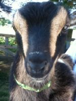 Bernadette the baby goat by AVPMismylife