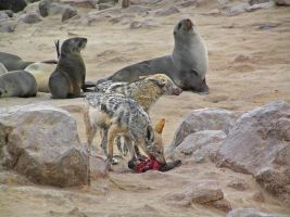 Wild Dogs and Seals by Jenvanw