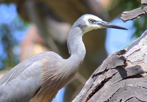 White-faced Heron by wolftraz