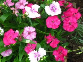 Dianthus by crazygardener