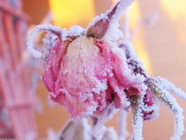 frosted pink rose by sataikasia