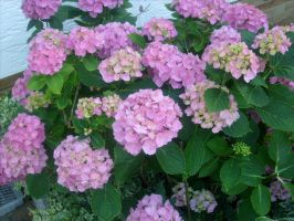 pink hydrangeas 1 by ingeline-art