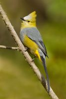 Long-tailed Silky Flycatcher by Jamie-MacArthur