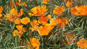 Poppies, Poppies, Poppies! by deoris