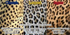 Cheetah, Leopard and Jaguar skin differences by madalyn86