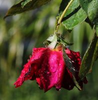 Wilting Rose by bugadrienne