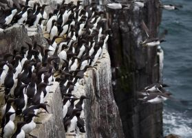 Guillemots on the cliff by zingmatter