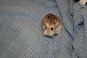My Hamsters-Sandi by chokkocakes