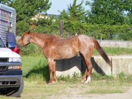 Red Roan 01 by Yankee-Stock