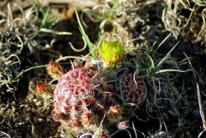 Cacti by exarobibliologist
