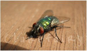 A fly by Clerdy