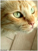 Beautiful cat by Barbudo