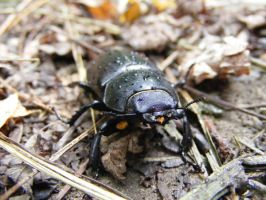 Stag Beetle by Leatherfeet