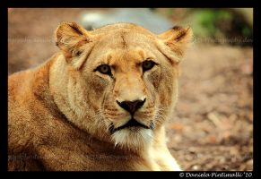 Lioness Portrait III by TVD-Photography