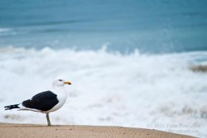 Domenican seagull by Tereineus
