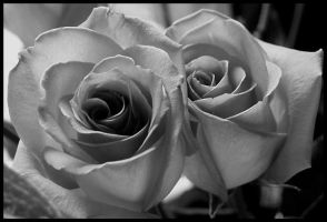 Pink Roses BW by texasghost