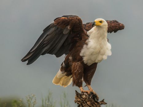 African Fish Eagle by Jamie-MacArthur
