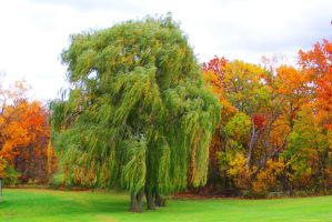 Willows in the Wind by Adeimantus