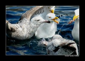 Norwegian gull 14 by grugster