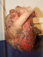 Denver Museum Anatomy Heart 236 by Falln-Stock