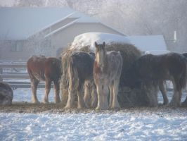 Clydesdale Yearlings 1 by okbrightstar-stock