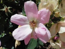 Light Pink Flower by Jazmine51397